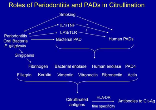 Roles of Periodontitis and PADs in Citrullination