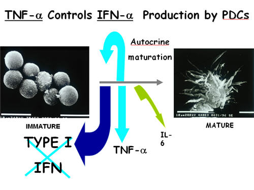 TNF-a Controls IFN-a Production by PDCs
